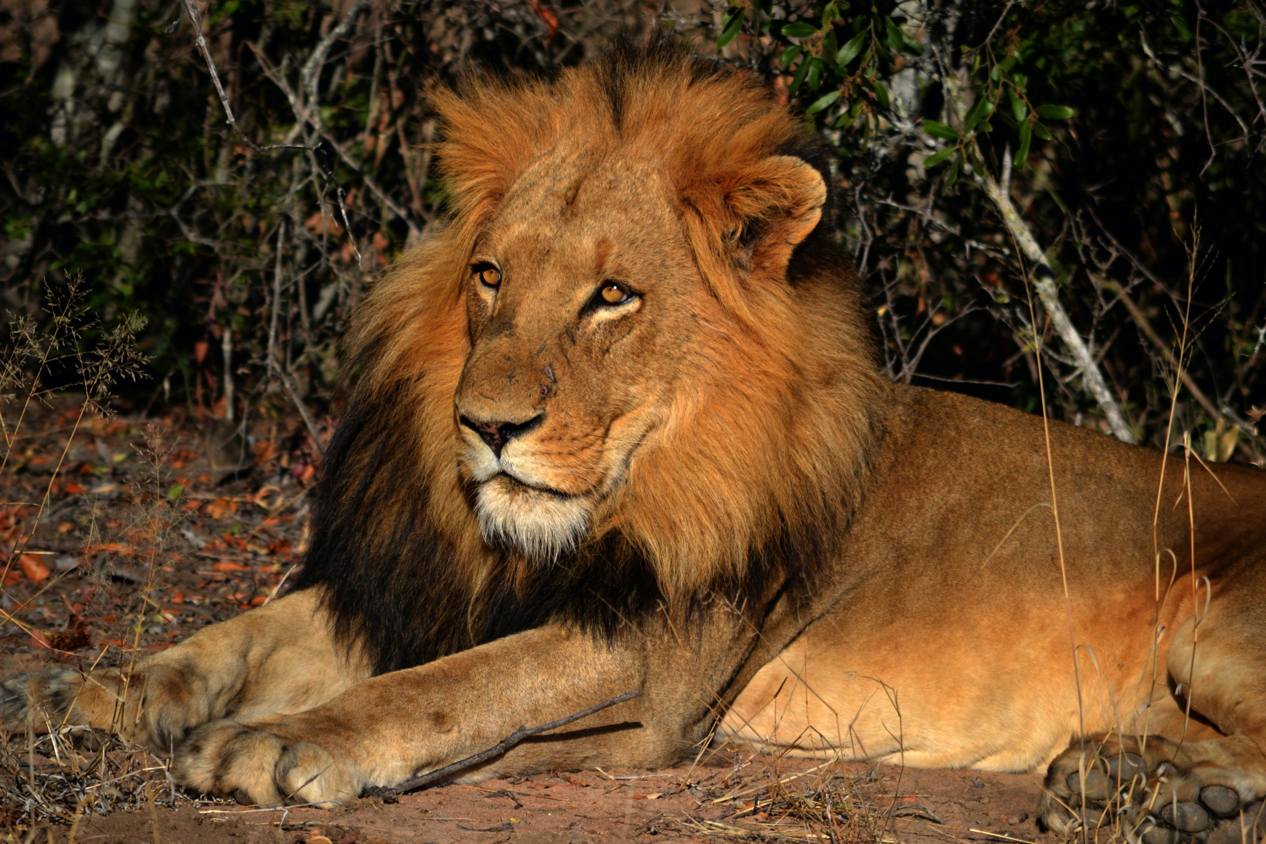 male lion sitting down - visit south africa