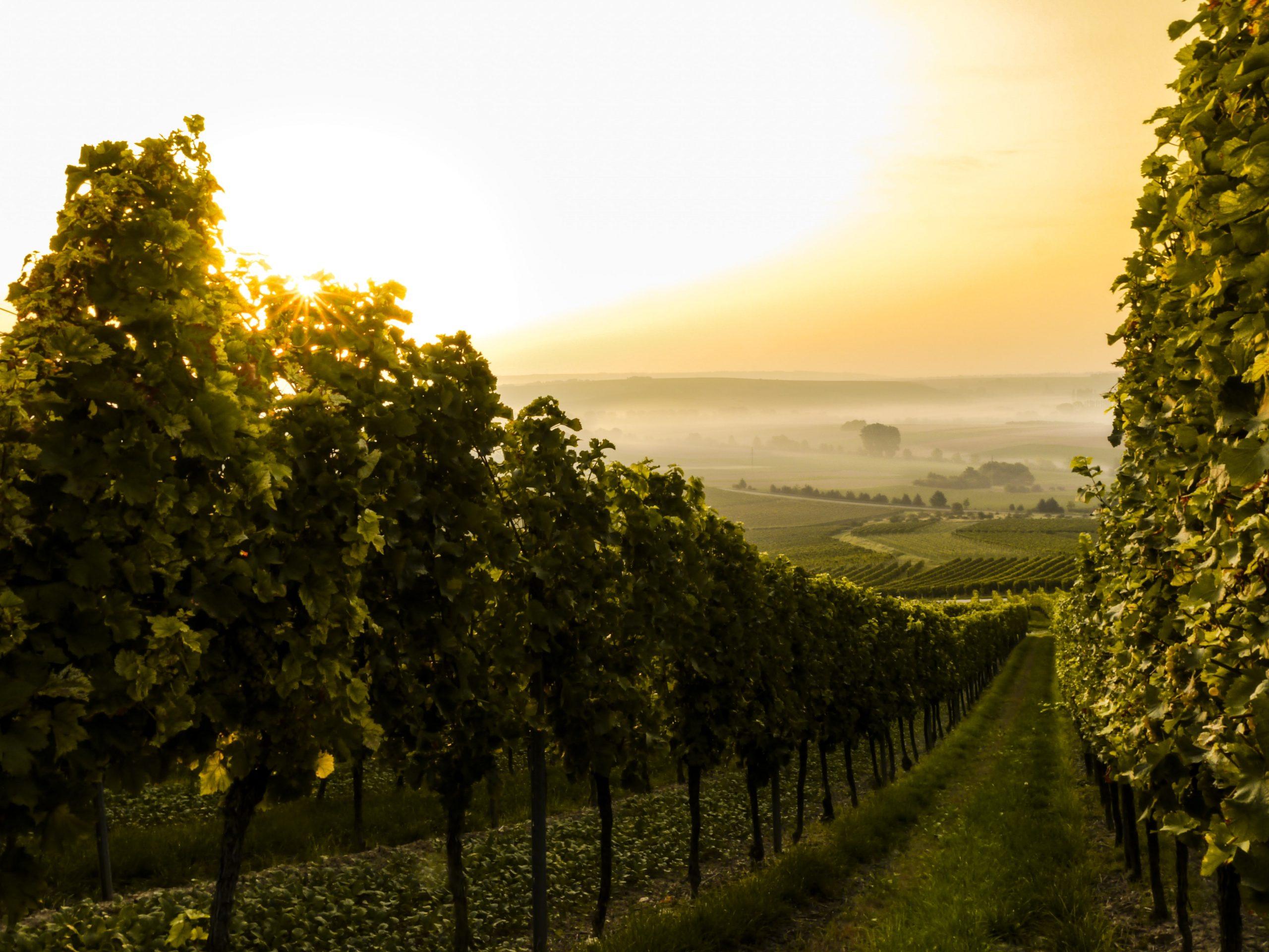 long stretch of vineyards
